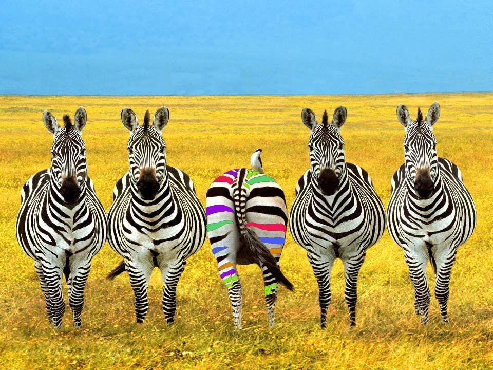 zebra colorata